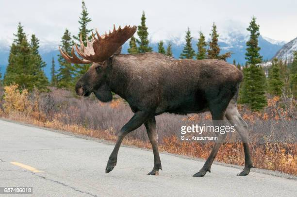 Bull Moose crossing road.