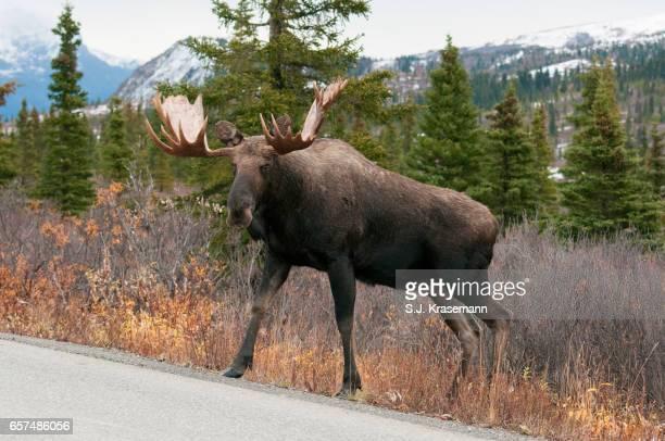 Bull Moose crossing road.