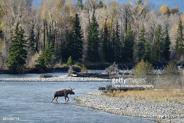 bull moose crossing the snake river - bull snake stock pictures, royalty-free photos & images