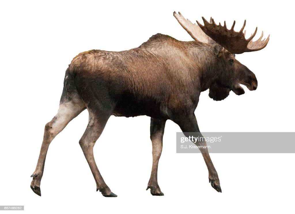 Bull Moose Cutout Against White Backdrop Stock Photo