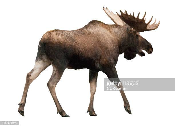 Bull Moose cut-out, against white backdrop.