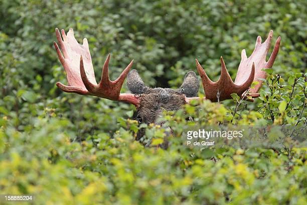 Bull Moose - Denali National Park - Alaska