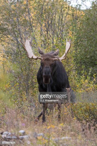 Bull Moose facing viewer while urinating, squatting.  Rut behavior.