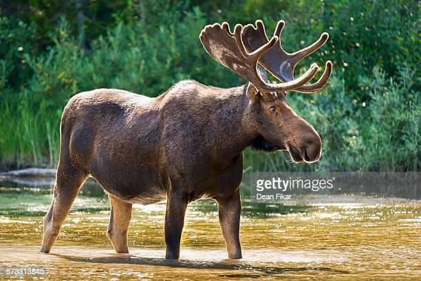 Bull Moose Feeding in a Lake