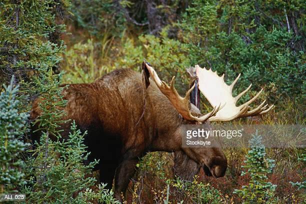 Bull moose grazing