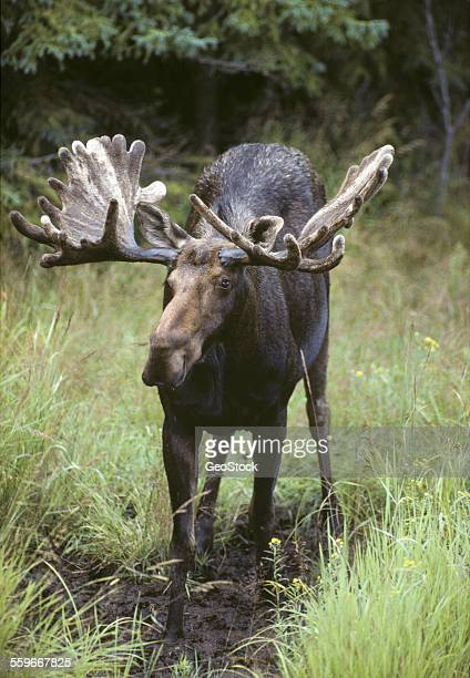 A bull moose in a northern forest