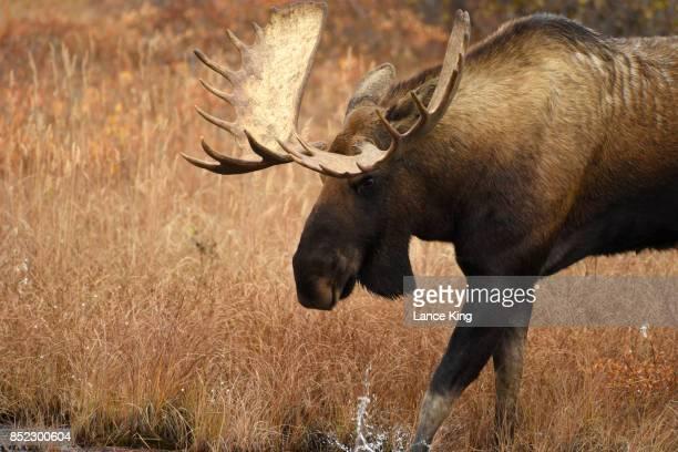 Bull Moose in Denali National Park, Alaska