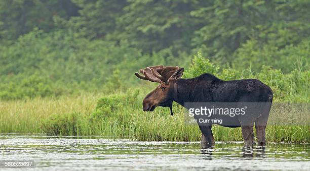 Bull moose in marsh eating