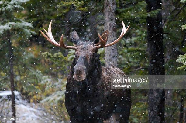 Bull Moose in Snow Fall
