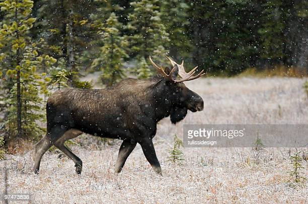 Bull Moose im Schnee Herbst