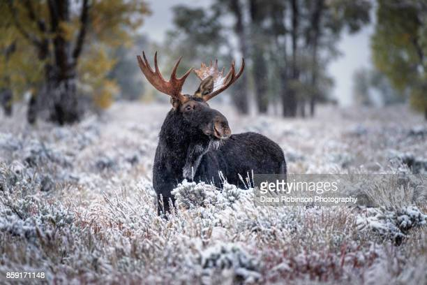 Bull Moose in the snow-covered sagebrush
