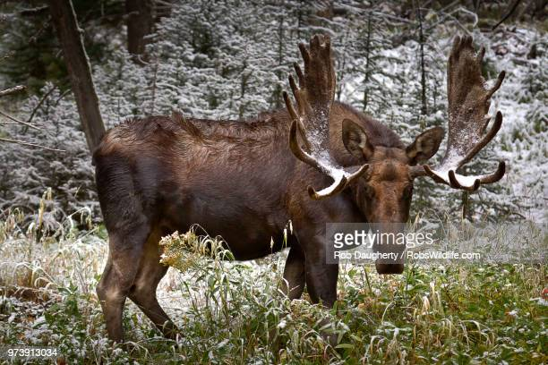 Bull Moose in the Winter