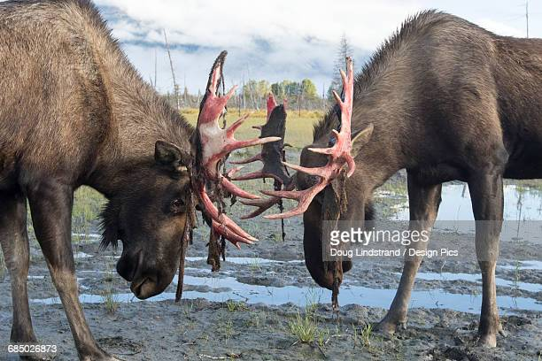 Bull moose (alces alces) just coming out of shedding its velvet and antlers look a little red, Alaska Wildlife Conservation Centre