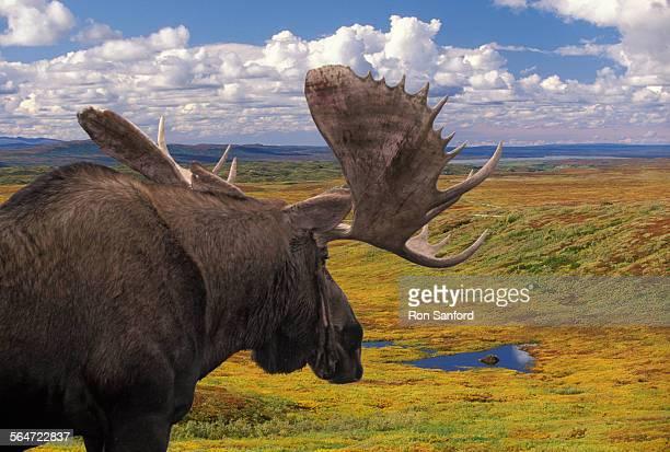 Bull Moose Looking at Beaver Ponds