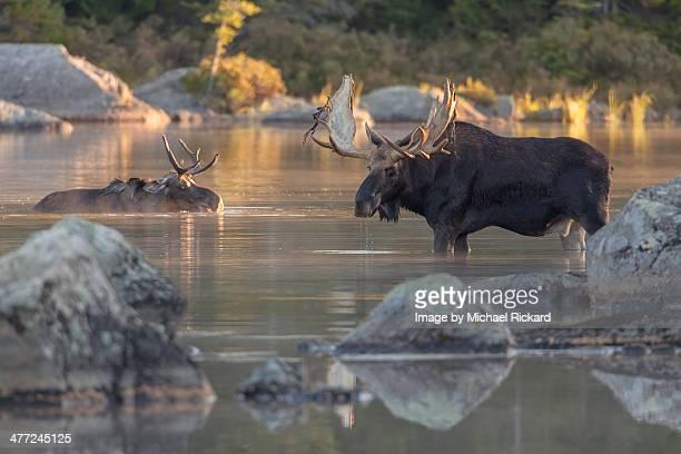 Bull Moose Maine