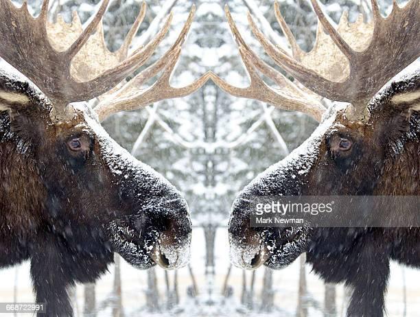 Bull Moose Mirror Image