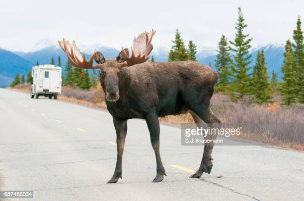 Bull Moose on road with tourist camper.
