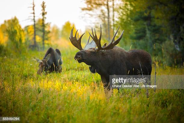 bull moose - jackson hole stock pictures, royalty-free photos & images