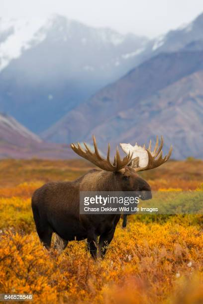 bull moose - mt mckinley stock photos and pictures