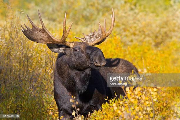 Bull Moose Porträt und Herbst Laub