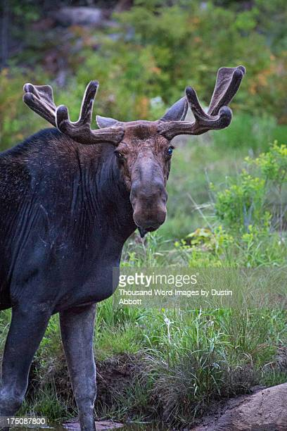 bull moose portrait - dustin abbott 個照片及圖片檔