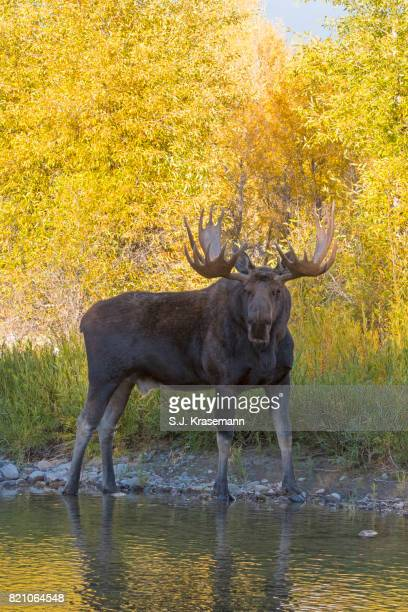 Bull moose standing at riverbank, looking at viewer,  with autumn colors in background.