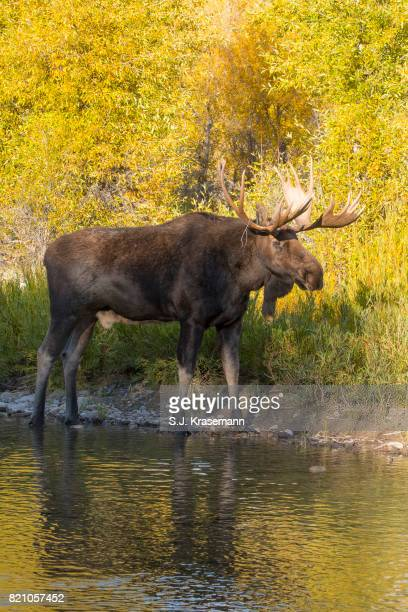 Bull moose standing at riverbank with autumn colors in background.