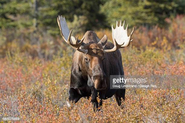 Bull moose standing in Autumn foliage, Denali National Park and Preserve, Interior Alaska