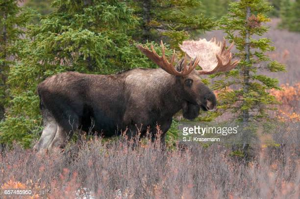 Bull Moose standing in northern forest, tundra.