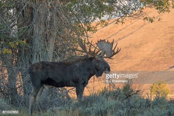 Bull moose standing in shrubland with autumn colors lit on distant mountains.