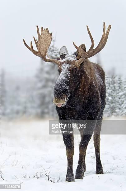 Bull moose standing in snowstorm