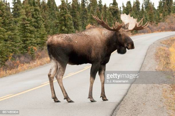 Bull Moose standing on paved road.