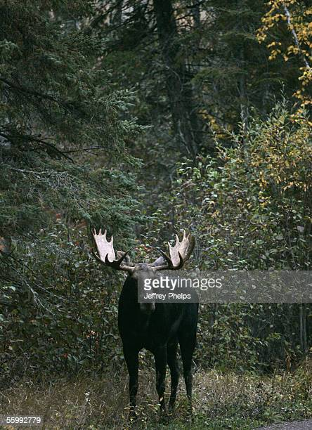 Bull Moose stands on Bunn Trail near the Gunflint Trail October 2 2005 near Grand Marais Minnesota