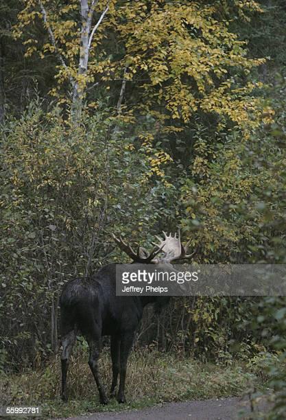 Bull Moose stands on Bunn Trail near the Gunflint Trail October 2 2005 near Grand Marais Minnesota