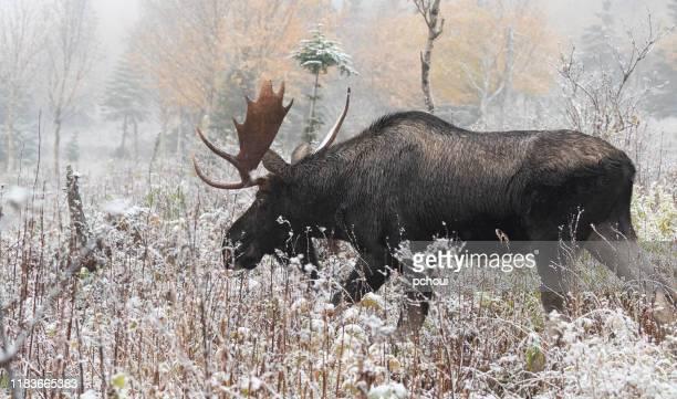 bull moose går på första snön, alces alces. - älg bildbanksfoton och bilder
