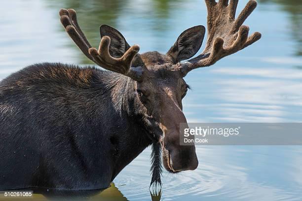 Bull Moose with antlers in velvet