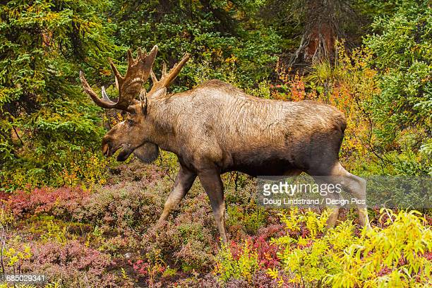 Bull moose (alces alces) with antlers out of velvet, Denali National Park and Preserve, interior Alaska in autumn