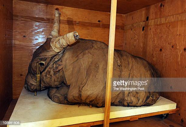 A bull mummy from Egypt that dates back to 500300 BC in the mummy collection room at the National Museum of Natural History on August 24 in...