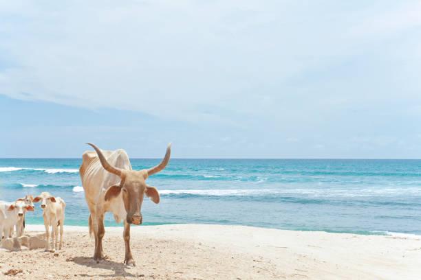 Bull on beach
