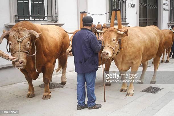 Bull, oxen, livestock yoke and farmer during a street parade.