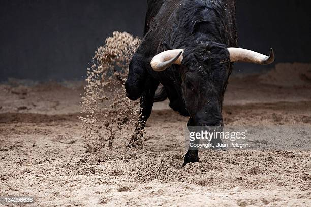 bull pens scratching in sales - bull animal stock photos and pictures