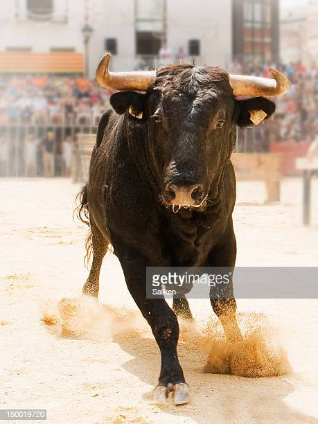 bull - bull animal stock photos and pictures