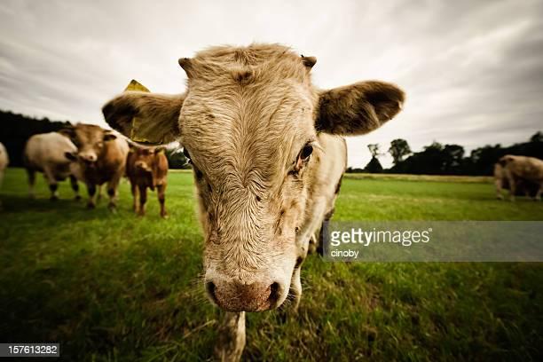 bull - aggression stock-fotos und bilder