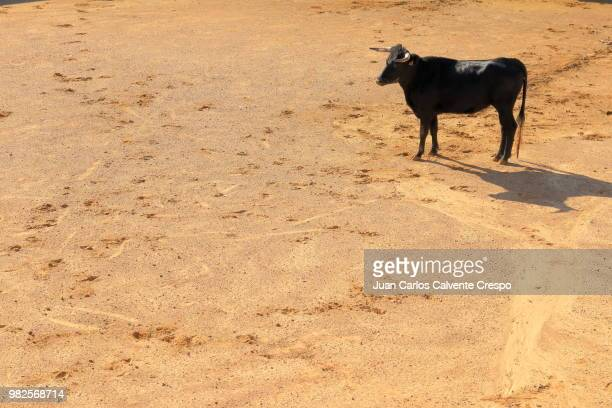 bull - bullfight stock pictures, royalty-free photos & images