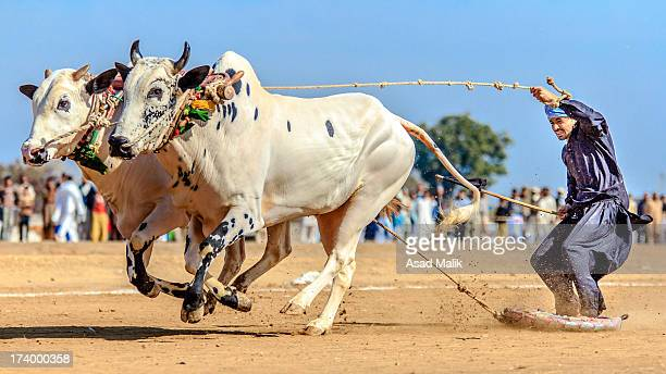 Bull race is a traditional sports in the Punjab province of Pakistan.