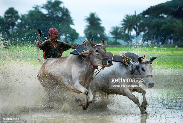 Bull race, known locally as Moichhara, is popular in rural Bengal and takes place in muddy paddy fields before sowing begins in the monsoon.A pair of...