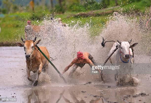Bull race, West Sumatra Province, Indonesia