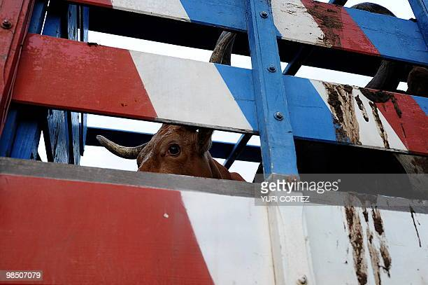 A bull remains in a truck before a bull riding festival on April 16 in San Ramon about 60 km north of San Jose Bull riding is a tradition in Costa...