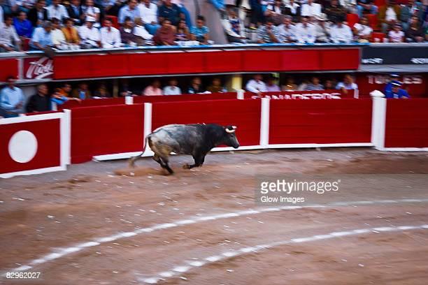 Bull running in a bullring, Plaza De Toros San Marcos, Aguascalientes, Mexico