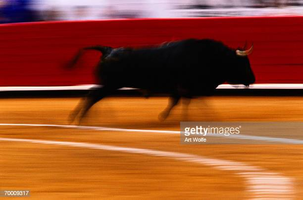 Bull running in bullfight, Mexico City, Mexico (blurred motion)